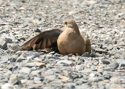 Mourning Doves on hot summer rocks