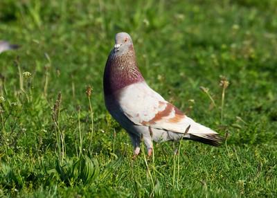 Brooklyn Rock Pigeon