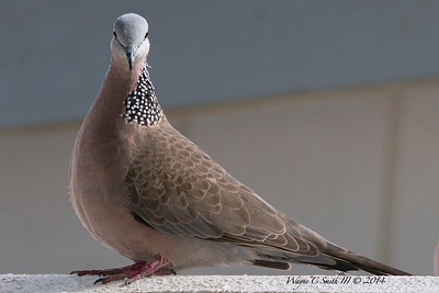 Spotted Dove, Oahu Hawaii, North Shore
