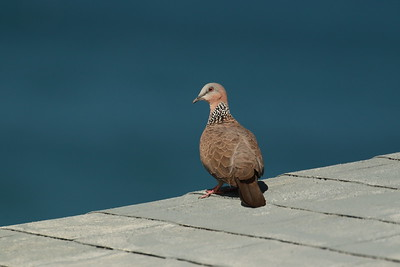 Spotted Dove, Chinese Dove, Lace necked Dove