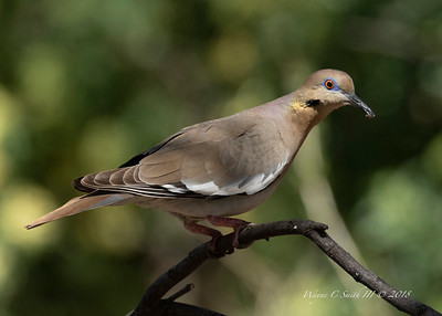 White Winged Dove, Key West, FL