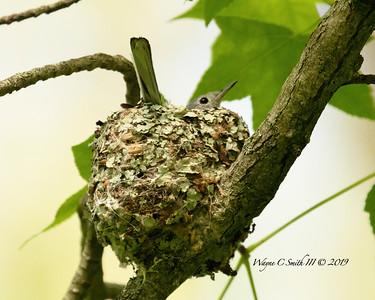 Blue-gray Gnatcatcher Nesting