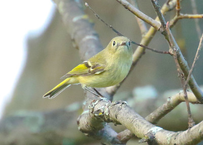 Ruby Crowned Kinglet in Canopy