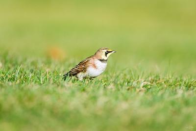 horned lark_1539