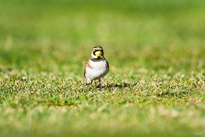 horned lark_1530