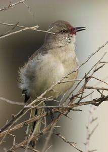 Mockingbird Drunk on Berries