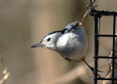 Nuthatch in Spring 2020
