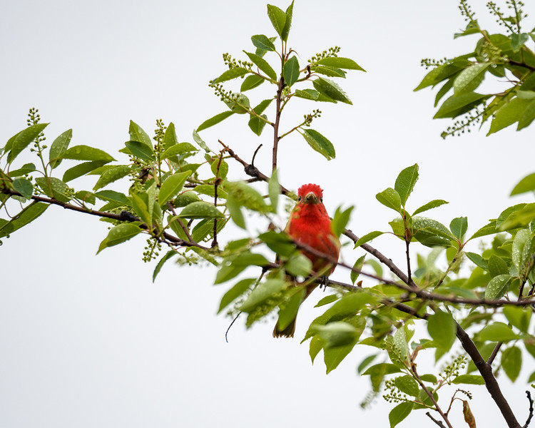 Tanager in a tree