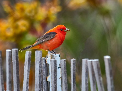 Sarlet Tanager on fence