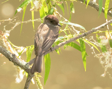 Eastern Phoebe Resting in Willow by the Lake