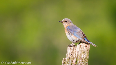 Eastern Bluebird (Juv)