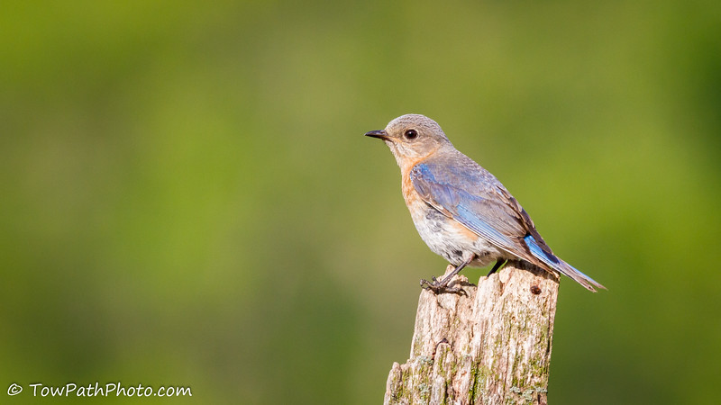 IMAGE: https://photos.smugmug.com/Birds/Song-Birds/Song-Birds/i-LXGPKFT/0/L/Eastern%20Bluebird%20%28Juv%29_20160703-IMG_9548-L.jpg