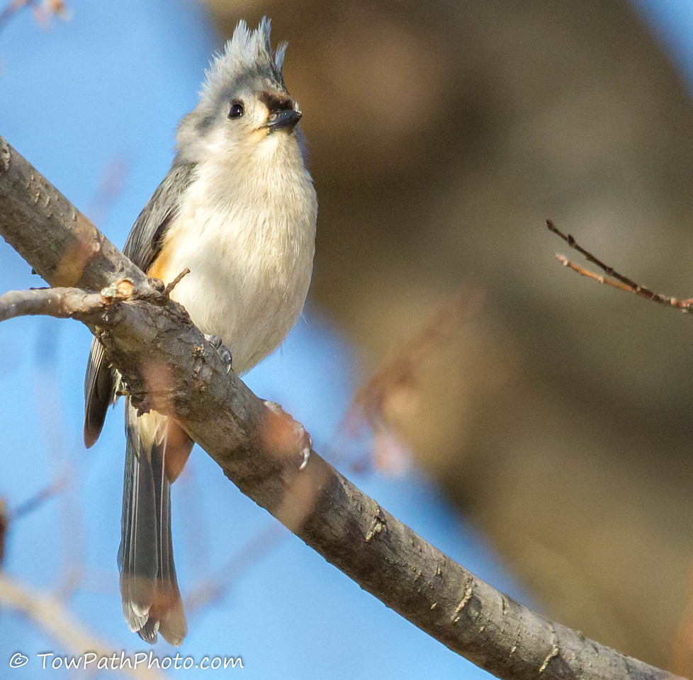 Tuffted Titmouse