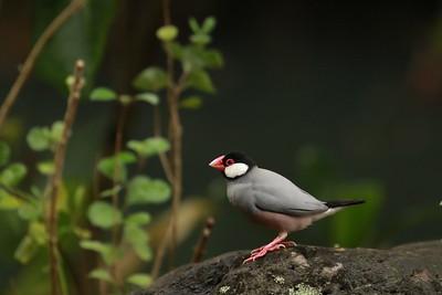 Java Sparrow, Waimea Valley, Oahu Hawaii, 2018