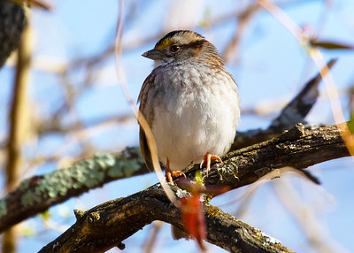 Yellow Crown Sparrow