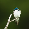 tree swallow_8126