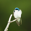 tree swallow_8131