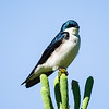 tree swallow_8163