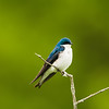 tree swallow_8122