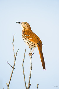 brown thrasher_4631
