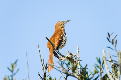 brown thrasher_4530