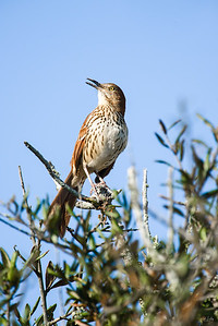 brown thrasher_4545