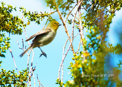 Male Verdin Hopping from Tree to Tree