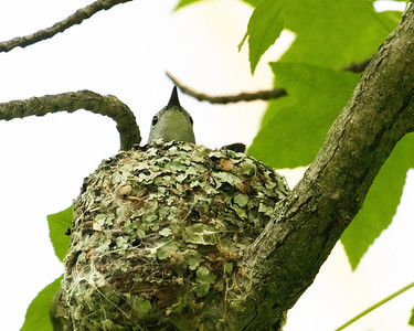 White Eyed Vireo on Nest