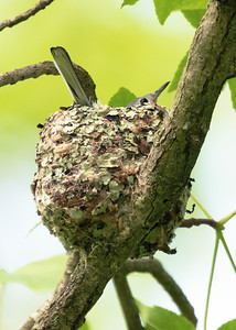 Blue-gray Gnatcatcher Nesting