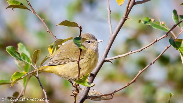 IMAGE: https://photos.smugmug.com/Birds/Song-Birds/Warbler/i-bNbhSM3/1/M/Pine%20Warbler_20121103-IMG_2070-M.jpg