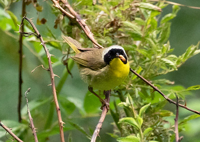 Common Yellowthroat Warbler With Tasty Grub