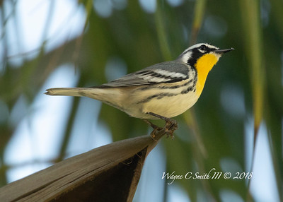 Adult Yellow Throated Warbler Singing