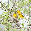 yellow-warbler_6503