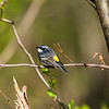 yellow-rumped warbler_7031