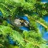 yellow-rumped warbler_8700