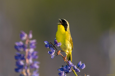 commonyellowthroat_6850
