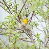 yellow-warbler_6523