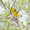 yellow-warbler_6510