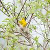 yellow-warbler_6519