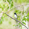 black-throated blue warbler_6834