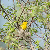 yellow-warbler_6493