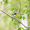 black-throated blue warbler_6833