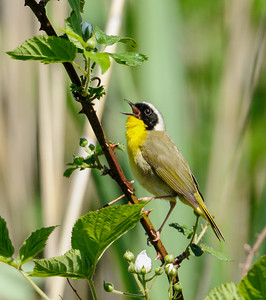 Yellow-throat Warbler