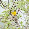 yellow-warbler_6520