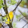 yellow-warbler_6350