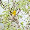 yellow-warbler_6515