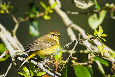 palm warbler_2764
