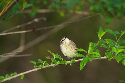 palm warbler_8618