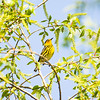 cape may warbler_6405