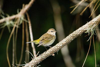 palm warbler_8619